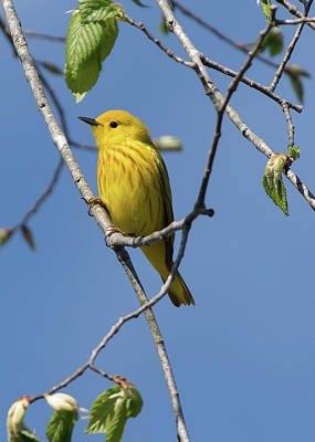 Photograph - Bird - Yellow Warbler by Ron Grafe