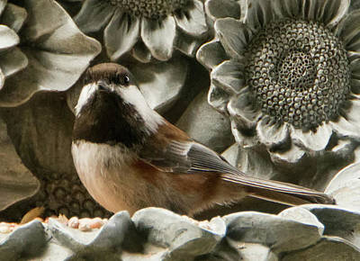 Photograph - Chickadee Feeding by Marilyn Wilson