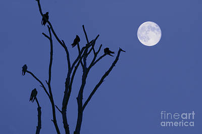 Montage Photograph - Birds And Full Moon by Dave Gordon