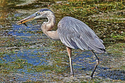 Birds - Great Blue Heron Art Print by HH Photography of Florida