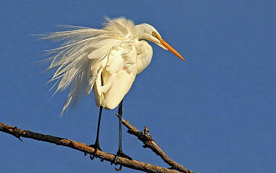 Photograph - Birds - Great Egret by HH Photography of Florida