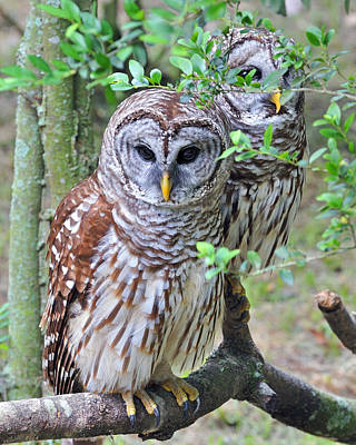 Photograph - Birds Of A Feather - Owls by Donna Proctor
