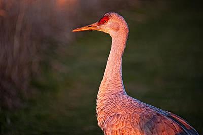 Birds Of Bc - No.4 - Sandhill Crane - Grus Canadensis Original