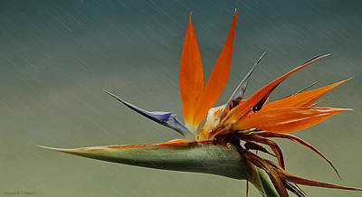 Photograph - Birds Of Paradise 002 by Kevin Chippindall