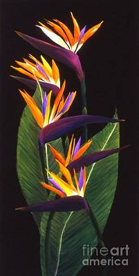 Painting - Birds Of Paradise by Mary Erbert