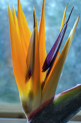 Photograph - Birds Of Paradise  by Steven Brodhecker
