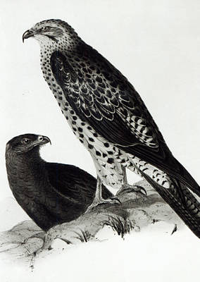 Falcon Drawing - Birds Of Prey by Charles Darwin