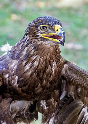 Photograph - Birds Of Prey Series 3 by Bob Slitzan