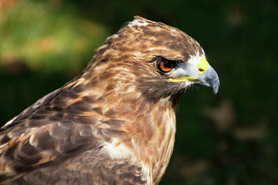 Photograph - Birds Of Prey Series 5 by Bob Slitzan