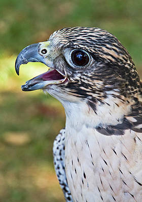 Photograph - Birds Of Prey Series 6 by Bob Slitzan