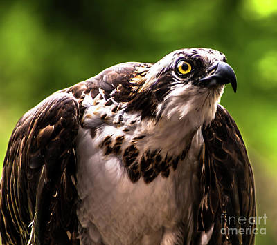 Photograph - Birds Of Prey Sonoma County by Blake Webster