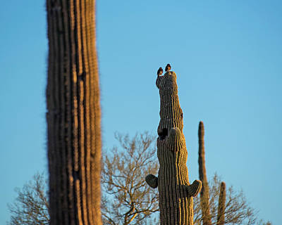 Photograph - Birds On A Cactus Papago Park Phoenix Az Arizona by Toby McGuire