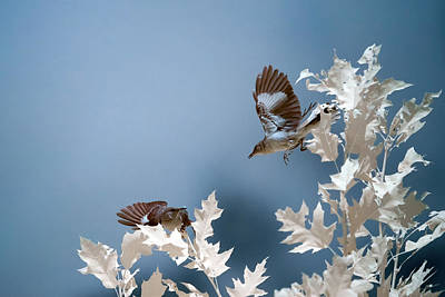 Photograph - Birds Playing In Infrared by Brian Hale
