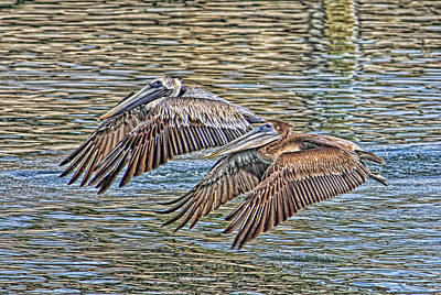 Photograph - Birds - Brown Pelican - Tandem Flight  by HH Photography of Florida