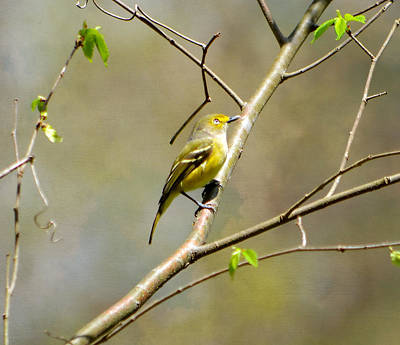 Photograph - Birds - White Eyed Vireo by Deena Stoddard