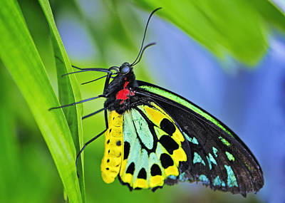 Photograph - Birdwing Butterfly by Bill Dodsworth