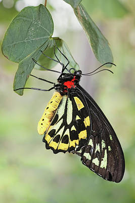 Art Print featuring the photograph Birdwing Butterfly I by Dawn Currie