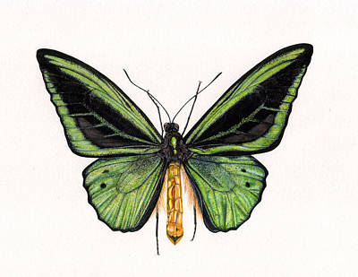 Vivid Drawing - Birdwing Butterfly by Rachel Pedder-Smith