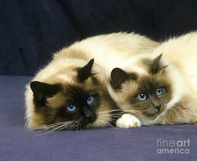 Pet Care Photograph - Birmanese Domestic Cat by Gerard Lacz