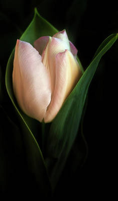 Photograph - Birth Of A Tulip by Mary Jo Allen