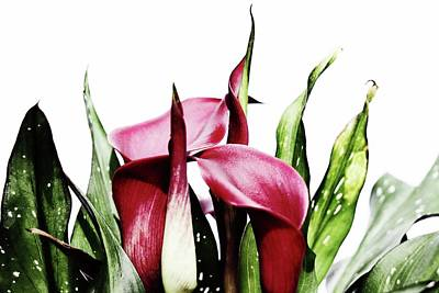 Photograph - Birthday Calla by Karen Stahlros