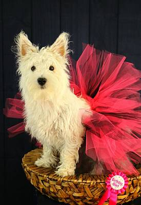 Photograph - Birthday Westie by Amanda Stadther