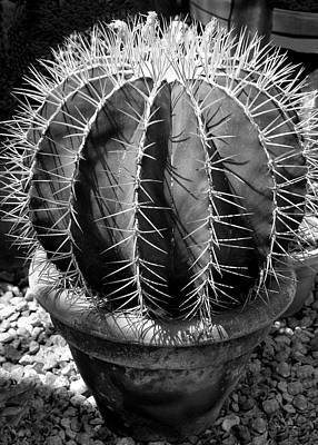 Photograph - Bishop's Cap Cactus by Betty Denise