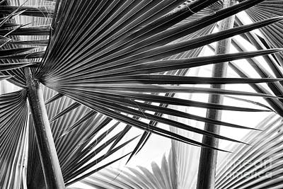 Photograph - Bismarck Palm Fronds by Tim Gainey