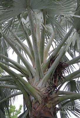 Bismark Palm Art Print