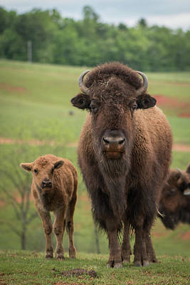 Photograph - Bison 4 by Joye Ardyn Durham