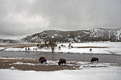 Photograph - Bison Along The Firehole River by Cindy Murphy - NightVisions