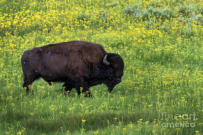Photograph - Bison Among The Wildflowers by Darleen Stry