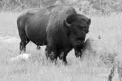 Photograph - Bison And Buffalo by Mary Mikawoz