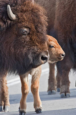 Bison And Calf Art Print