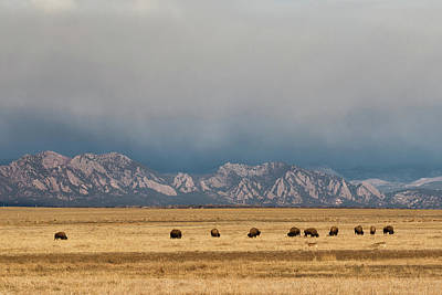 Photograph - Bison And Colorado's Flatirons by Tony Hake