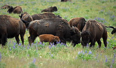 Target Threshold Nature - Bison and Lupine by Whispering Peaks Photography