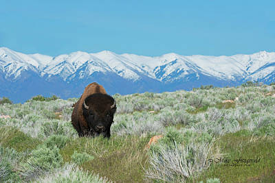 Photograph - Bison And Snow Mountain by Mike Fitzgerald