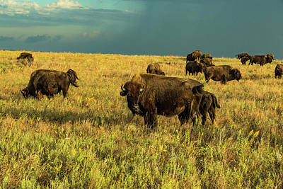 Photograph - Bison And Stormy Weather. by Jay Stockhaus