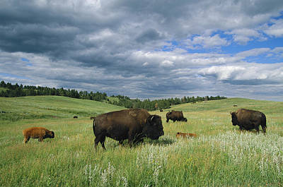 Animal Behavior Photograph - Bison And Their Calves Graze In Custer by Annie Griffiths
