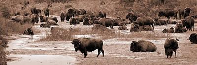 Bison At Salt Fork Arkansas River Kansas Print by Fred Lassmann