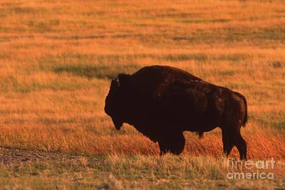 Art Print featuring the photograph Bison At Sunset by Edward R Wisell