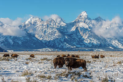 Photograph - Bison At The Tetons by Yeates Photography