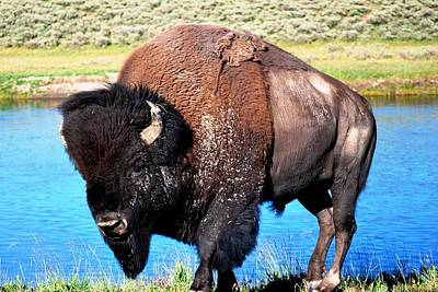 Photograph - Bison At Yellowstone by Matt Harang