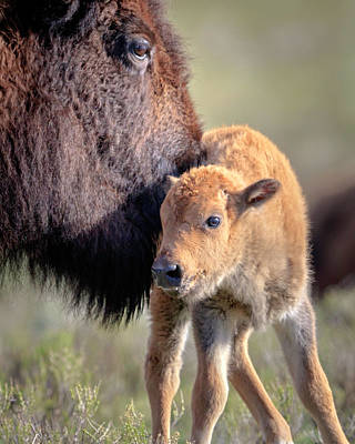 Photograph - Bison Baby by Jack Bell