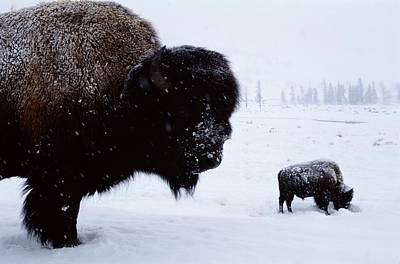 Natural Forces Photograph - Bison Bison Bison In The Snow by Joel Sartore