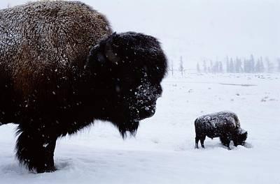 Bison Bison Bison In The Snow Print by Joel Sartore