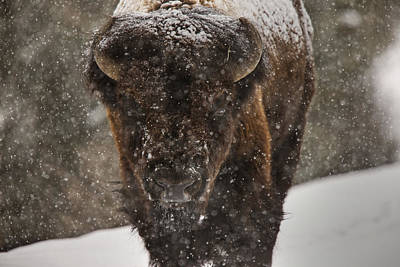 Yellowstone Digital Art - Bison Buffalo Wyoming Yellowstone by Mark Duffy