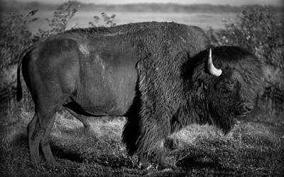 Photograph - Bison Bull by Jeff Phillippi