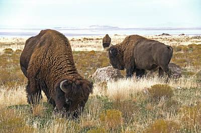 Bison Digital Art - Bison Bulls by Earl Nelson