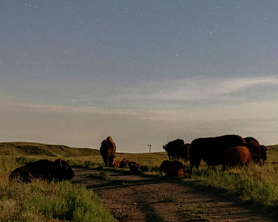 Photograph - Bison By Moonlight 02 by Rob Graham